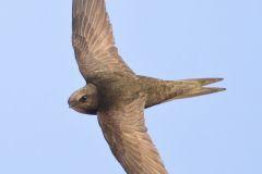 Rondone, apus apus, common swift, Mauersegler, vencejo común, Martinet noir