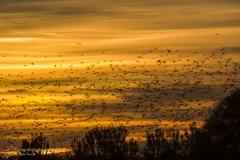 Storno (Sturnus vulgaris) - Common Starling