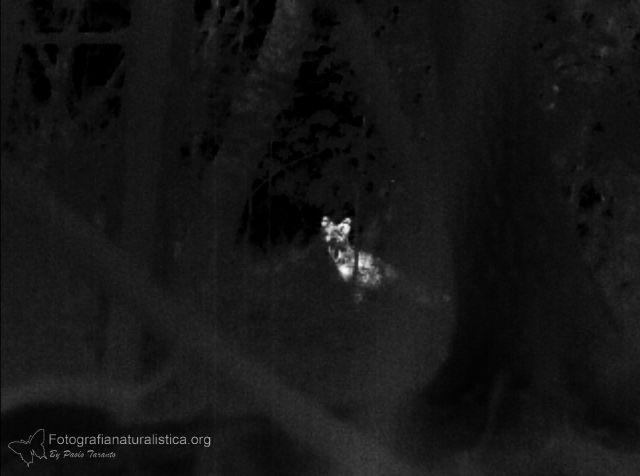 termocamera, thermal camera, osservazione fauna, volpe nascosta nella vegetazione