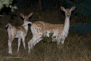 daino, dama dama, fallow deer, Damhirsch, gamo común, Daim européen