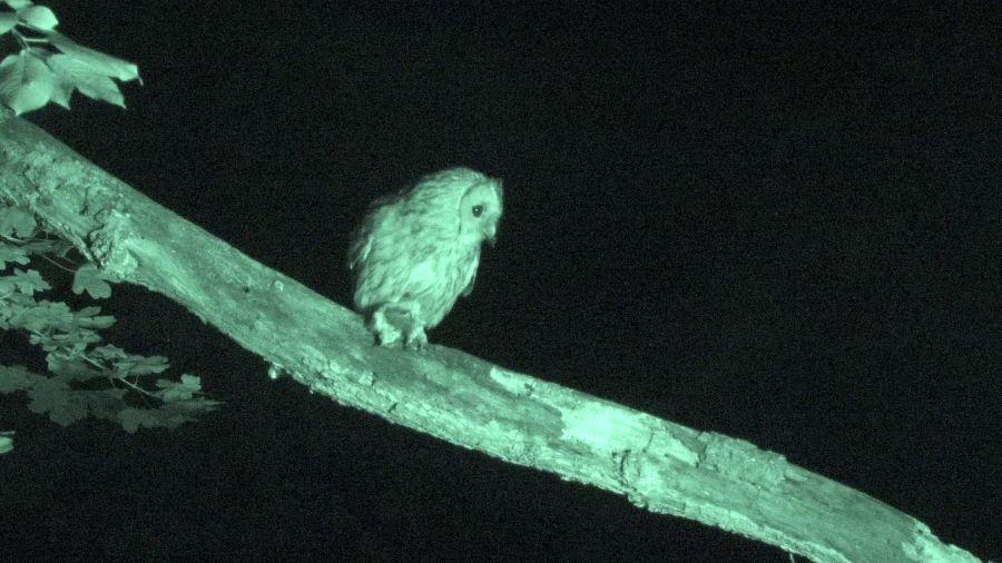Allocco, strix aluco, tawny owl, visione notturna, 4k, infrarosso,